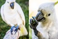 Playful sulfur-crested cockatoos in Sydney Botanic Garden
