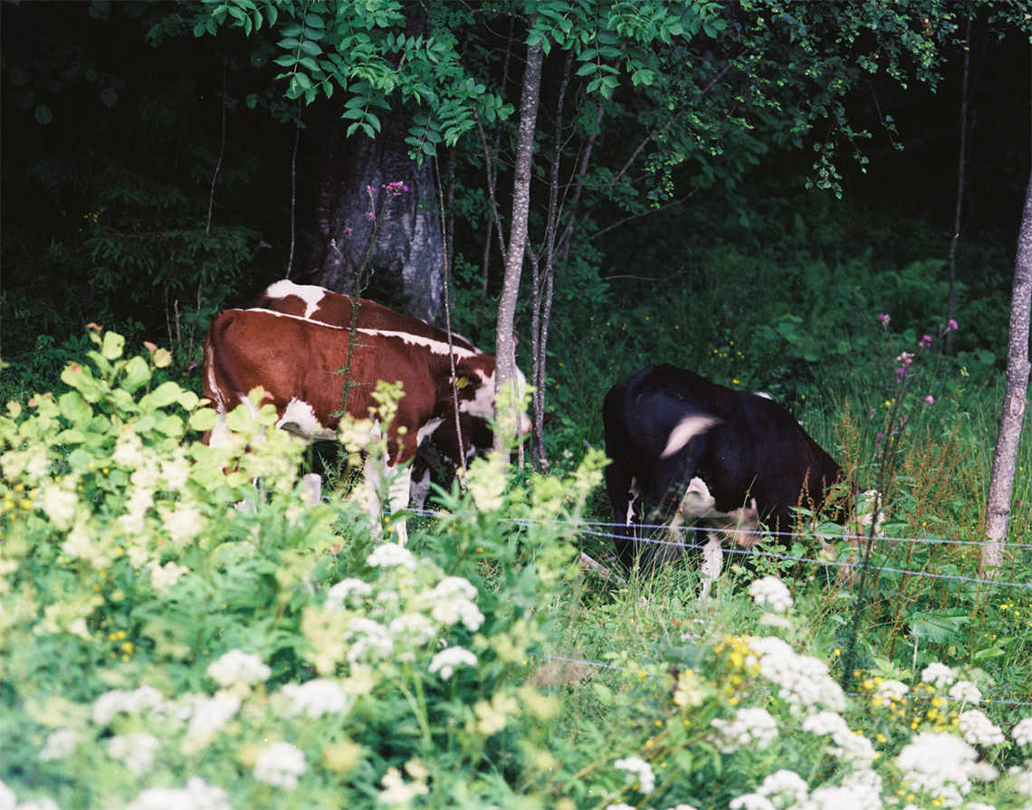Cows outside
